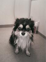 愛犬「クー」 俗称「ディープクーパクト」